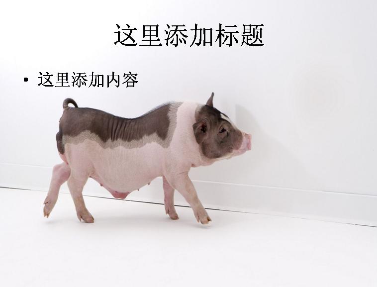 ppt背景可爱的非猪流图片(13)模板免费下载