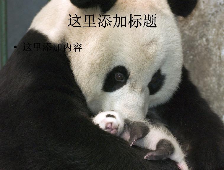 憨厚可爱大熊猫(3)模板免费下载