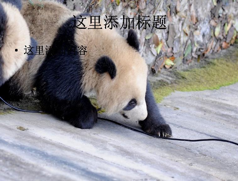 卖萌熊猫ppt(4_9)模板免费下载