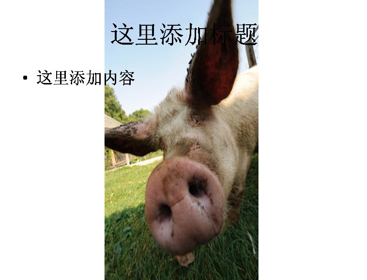 可爱小猪图片ppt模板免费下载