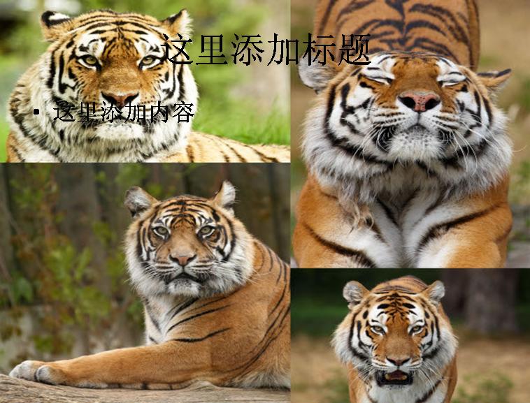 可爱的老虎高清图片 支持格式:ppt wpp 文件大小: