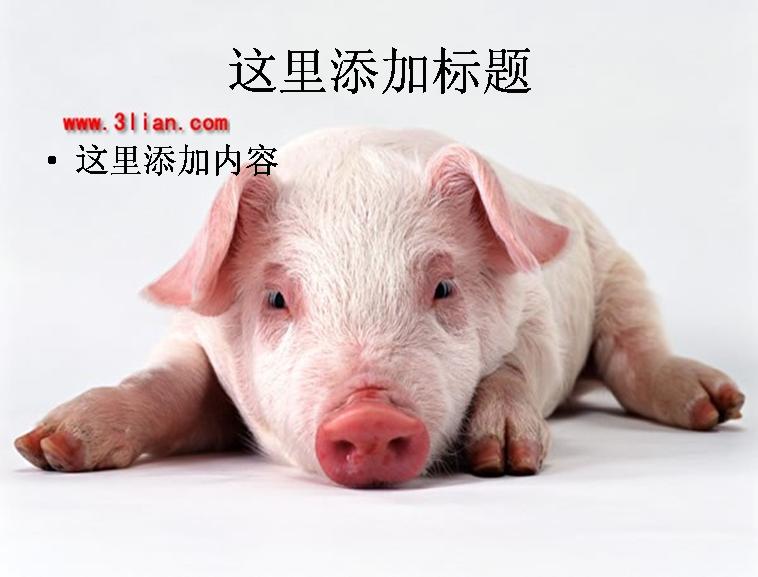 小猪图片ppt模板免费下载