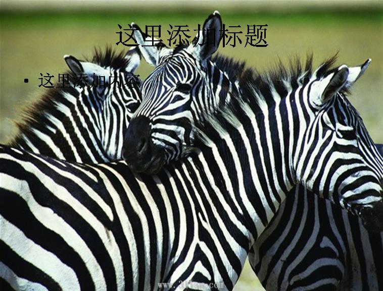 斑马动物图片模板免费下载