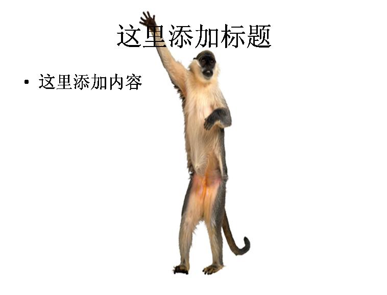 猴子图片ppt