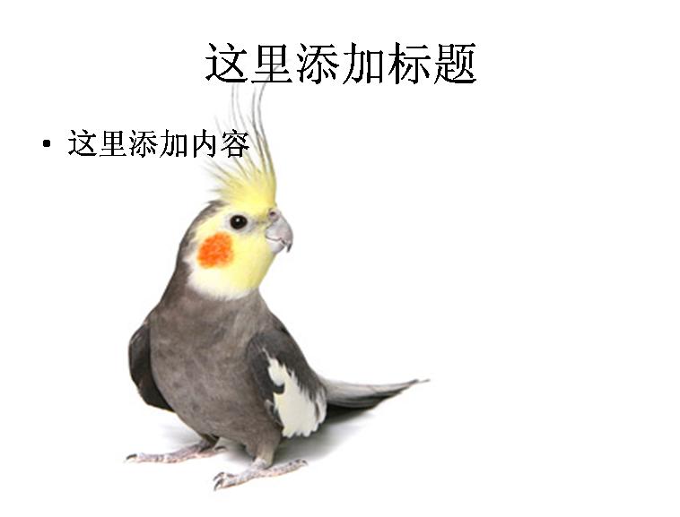 白底鹦鹉图片-5动物模板免费下载