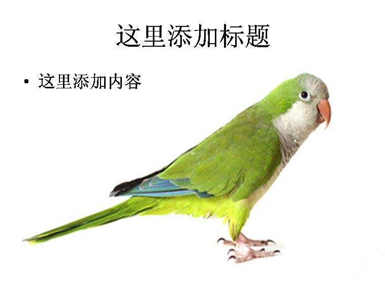白底鹦鹉图片ppt素材-4动物素材