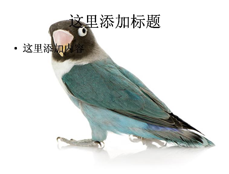 白底鹦鹉图片ppt素材-6动物素材模板免费下载