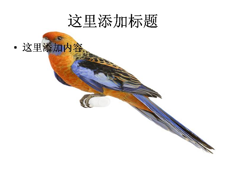 白底鹦鹉图片ppt素材-7动物素材