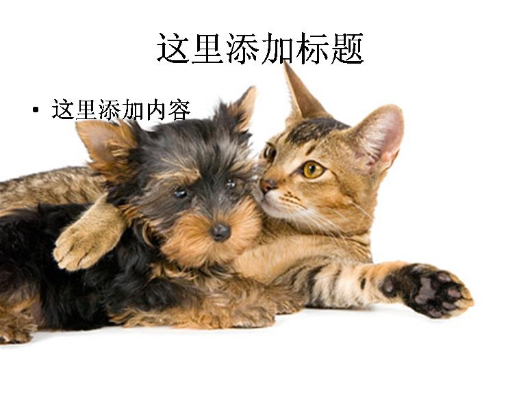 精美的猫猫图片ppt素材-8动物素材