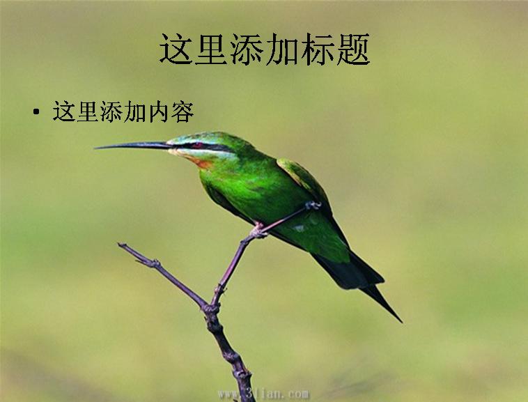 美丽的鸟儿图片ppt模板