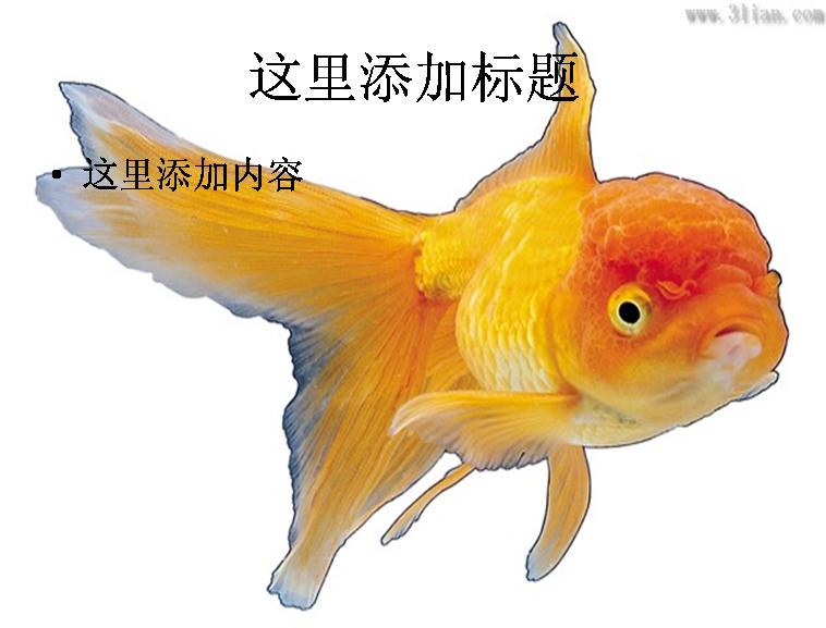 观赏鱼-金鱼图片模板免费下载