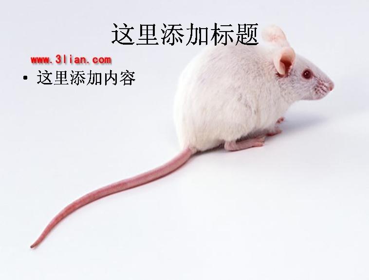 高清晰小白鼠图片ppt模板免费下载