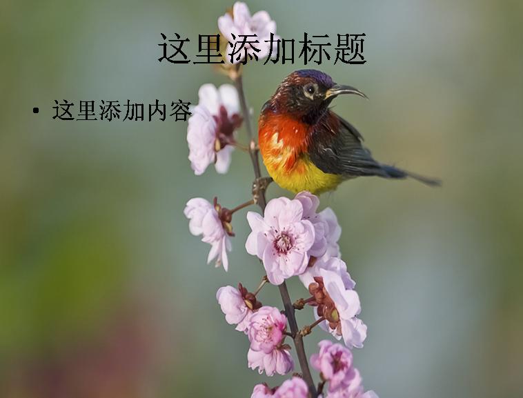 大自然鸟类飞行摄影高清ppt封面(18)模板免费下载