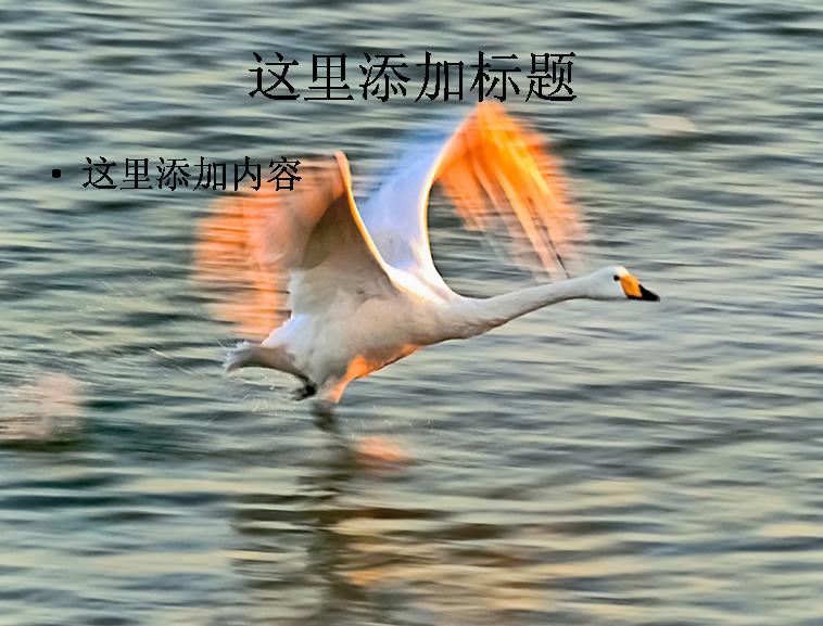 大自然鸟类飞行摄影高清ppt封面(7)模板免费下载