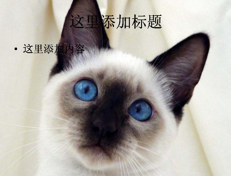 暹罗猫可爱萌态高清ppt(6)模板免费下载