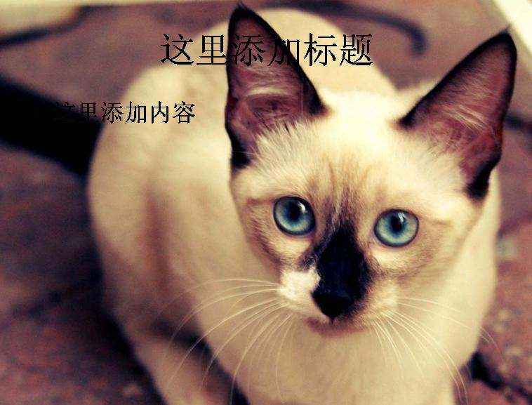 暹罗猫可爱萌态高清ppt(8)模板免费下载