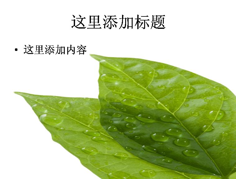 两片树叶绿叶和露珠高清图片ppt植物素材模板