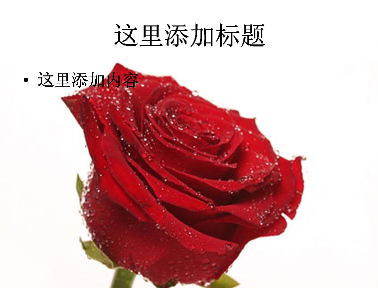 大红色玫瑰花特写图片ppt素材花卉图片ppt模板