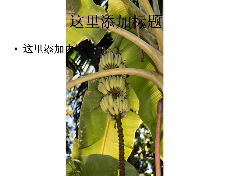 成熟的香蕉树图片ppt模板免费下载