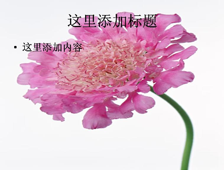 粉紅鮮花圖片ppt 標  簽: 植物花朵樹林 支持格式: ppt wpp