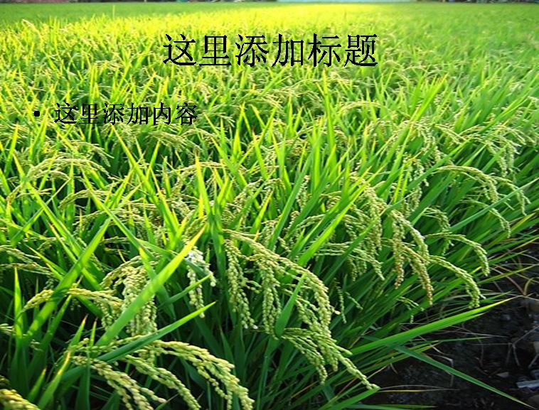 粮食系列图片ppt素材-2植物素材