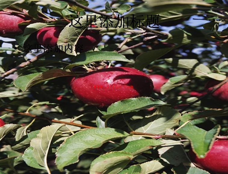 苹果树,果树图片ppt模板免费下载