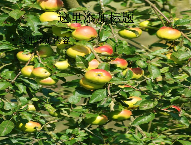 苹果树高清图片ppt