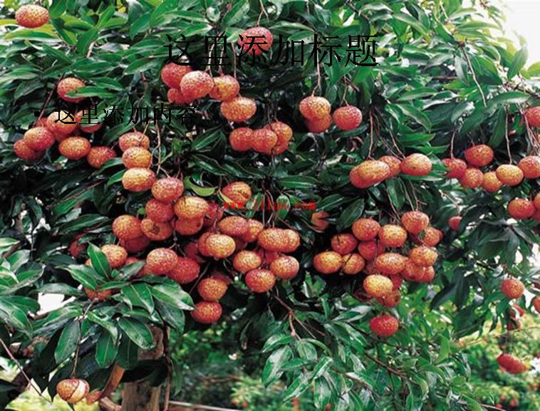 荔枝树图片ppt模板免费下载