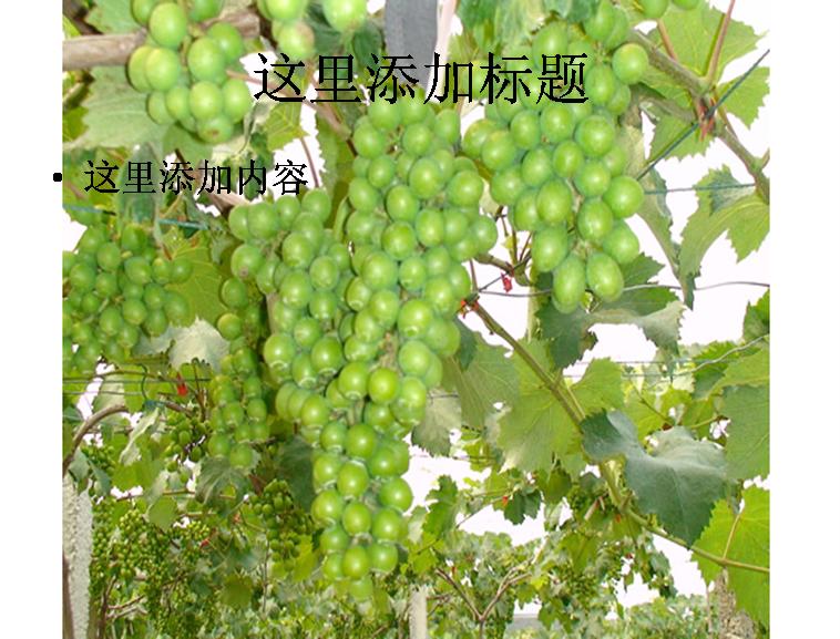 葡萄果树高清图片ppt模板