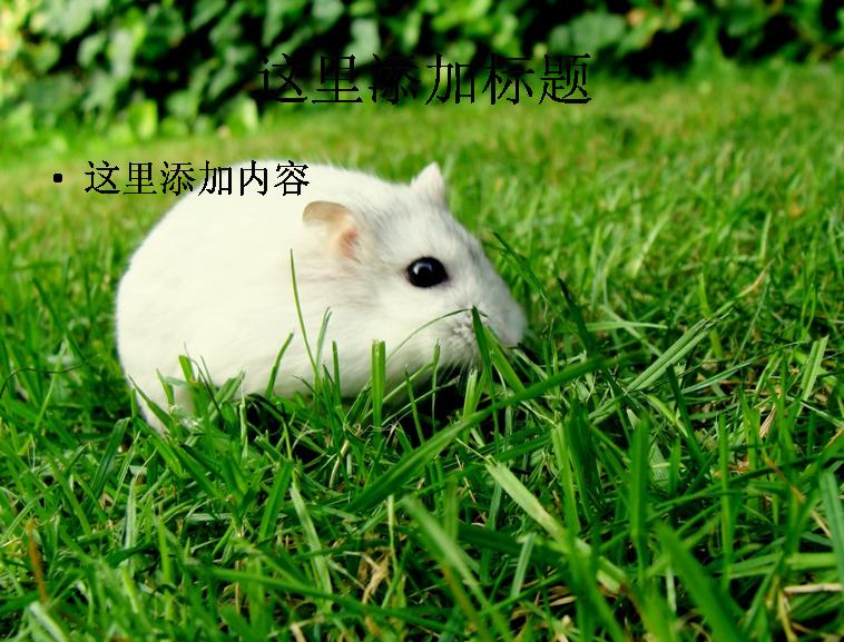 超可爱的小白鼠模板免费下载